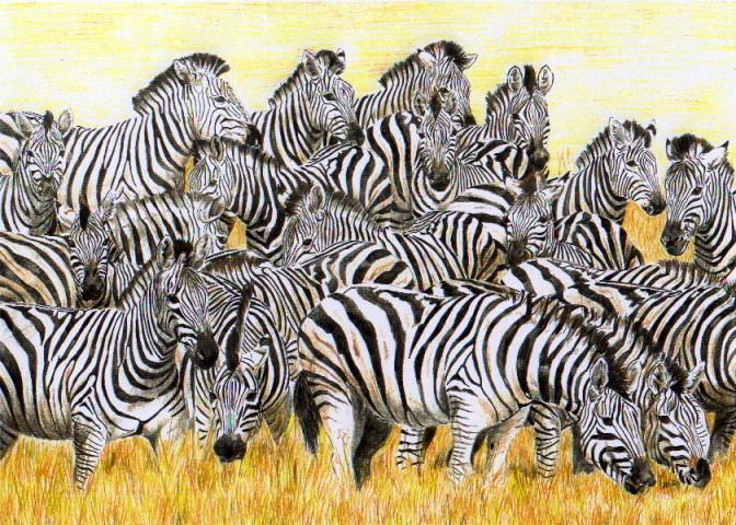 Zebras75